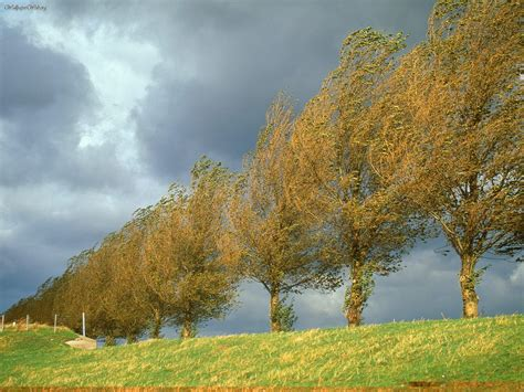 Nature: Poplars, Holland, The Netherlands, picture nr
