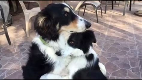 Dog Best Buds Hug It Out Video - ABC News