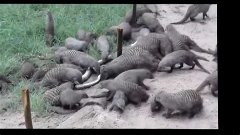 HECTIC ATTACK ON A PYTHON BY MONGOOSE!!!!! - YouTube