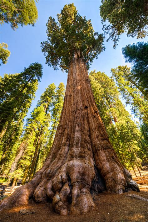 General Sherman Tree HDR, Sequoia National Park   The