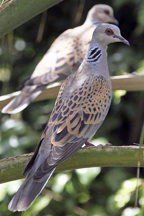 turtle dove - Wiktionary