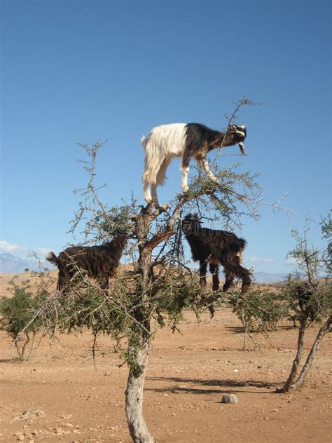 Goats In Argan Tree, Morocco Stock Image - Image of goats