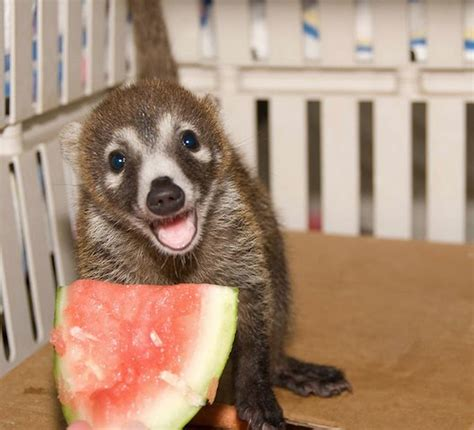 love, elizabethany: i want this as a pet: coatis