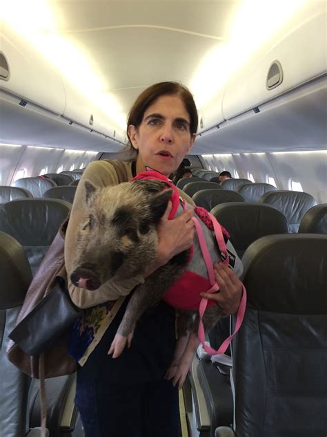 Patricia Marx's Pig on a Plane - The New Yorker