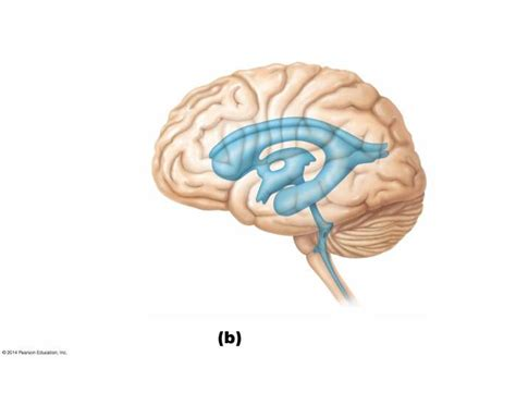 Left Lateral View of Brain Ventricles