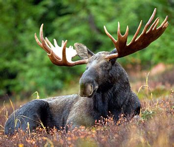 Midwest Moose Move Toward Endangered Species Act Protection