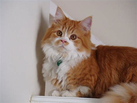 Minuet Cat Breed Information and Pictures - PetGuide